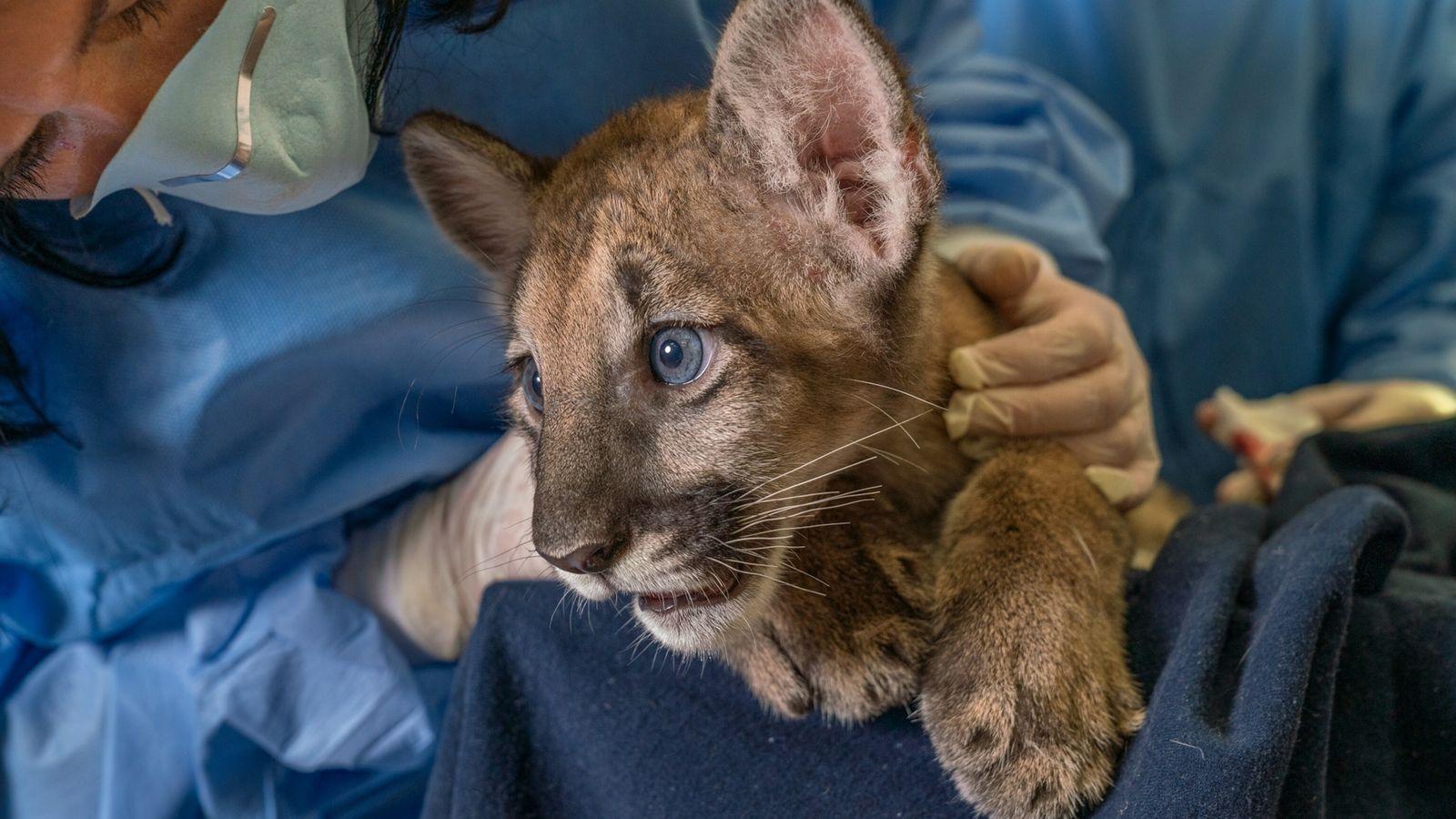 Uma cria de pantera-da-flórida nascida de uma mãe com leucomielopatia felina (FLM), um distúrbio neurológico recém-descoberto, ...