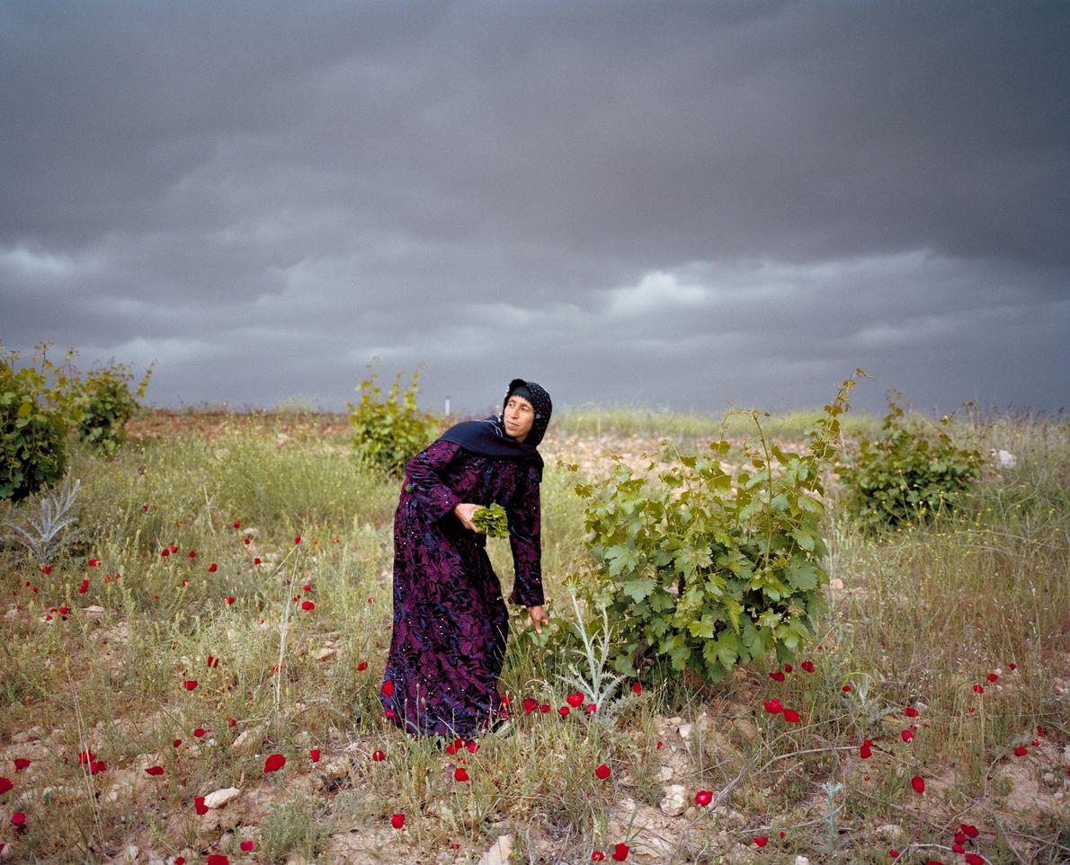 Leyla Sonkus apanha folhas de videiras na Planície de Harran no sul da Turquia, não muito ...