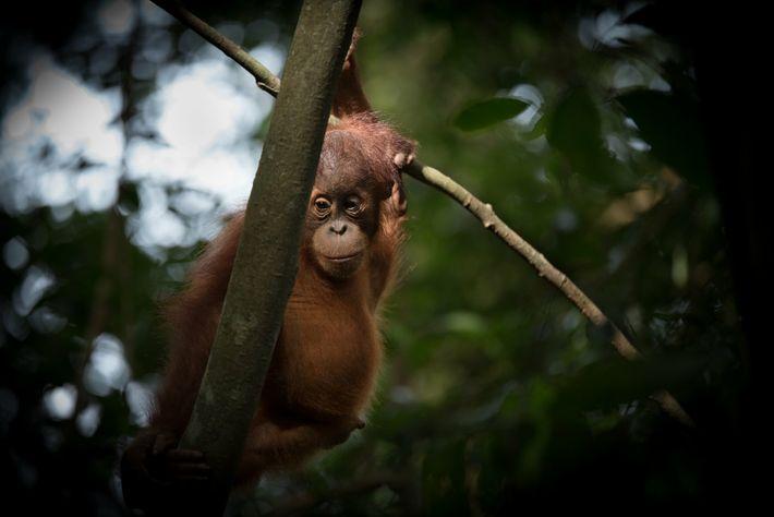 orangotango bebé
