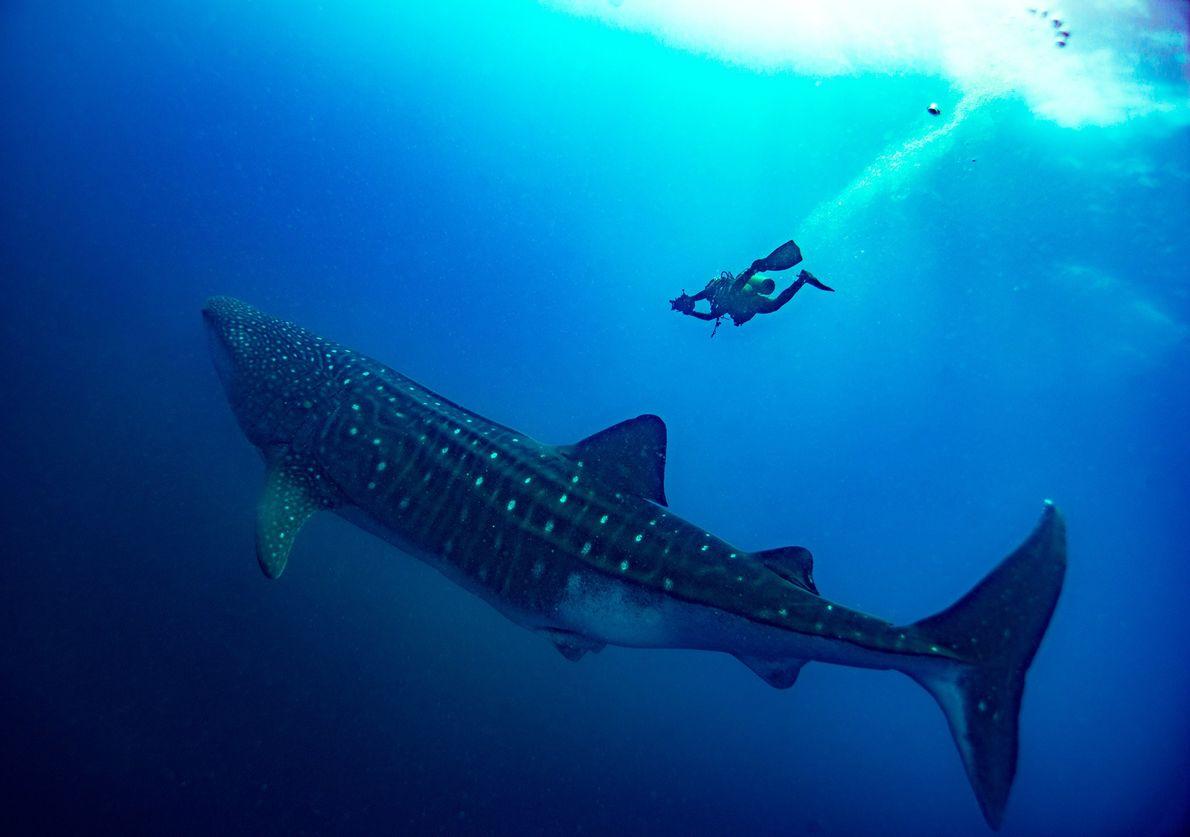 Tubarões-baleia na ilha de Darwin, nas Galápagos.