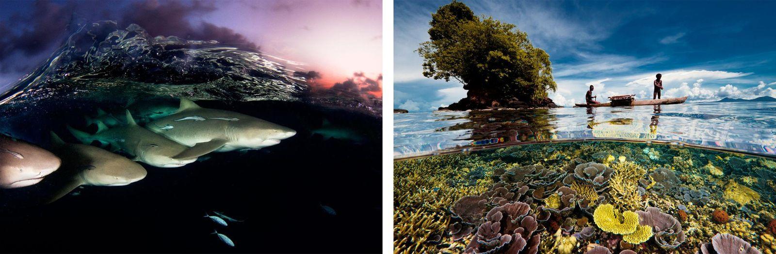 Esquerda: Uma onda cristalina quebra sobre um conjunto de tubarões-limão ao entardecer nas Bahamas. Passei décadas ...