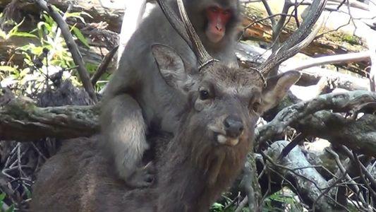 Macacas Observadas a 'Interagirem Sexualmente' com Veados