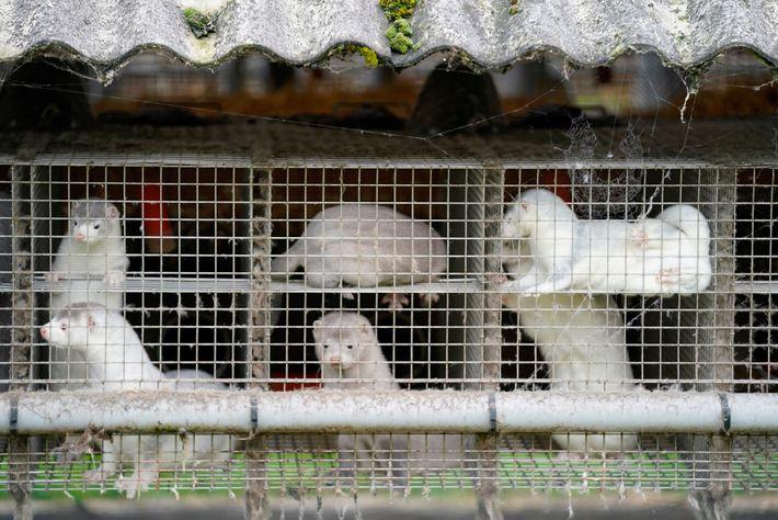 A Dinamarca planeia abater os 15 milhões de visons criados em cativeiro no país para ajudar ...