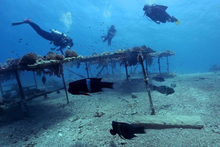 Depois de quatro anos vedados aos visitantes, os recifes transplantados mostram sinais promissores de crescimento, embora ...