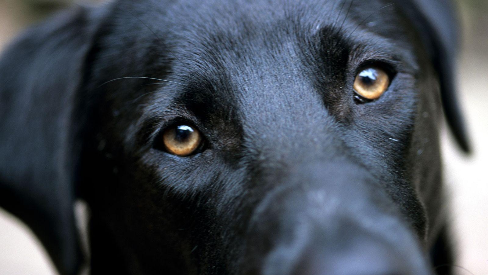Um labrador preto levanta as sobrancelhas quando encontra o olhar do fotógrafo.