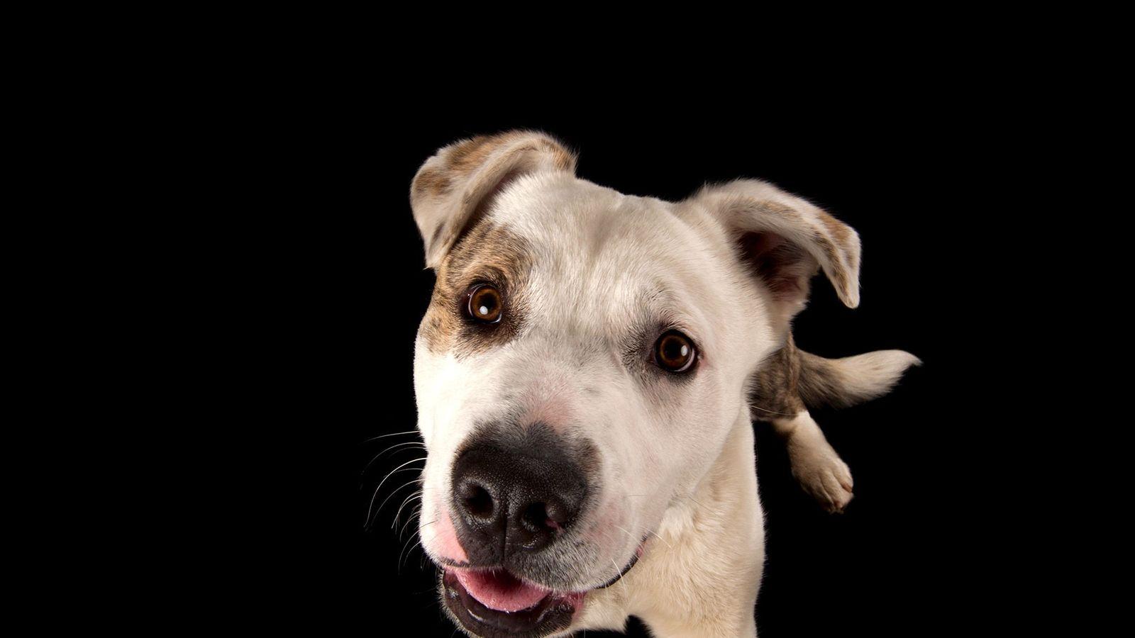 Cão arraçado de akita e pitbull