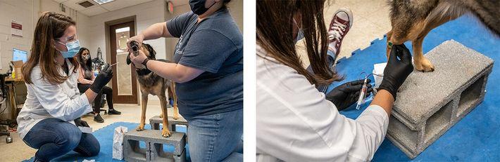 Esquerda: Meghan Ramos, especialista em medicina e reabilitação desportiva no Centro Operacional de Cães, limpa o ...