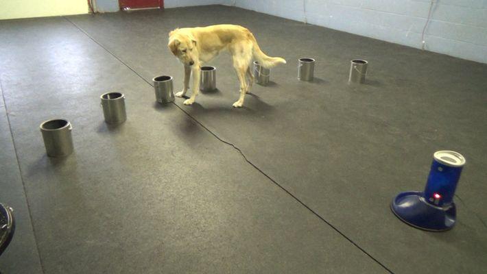 Veja Como Estes Cães Detetam Sinais de Ataques Epiléticos - Usando o Seu Nariz