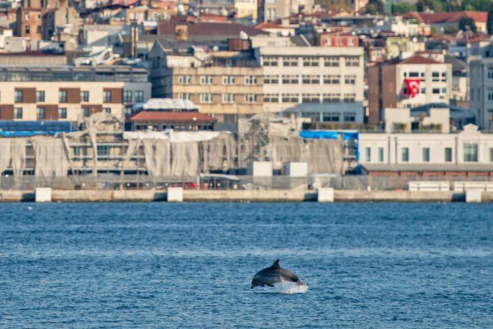 Um golfinho aproveita a ausência de tráfego marítimo e brinca no Estreito do Bósforo, perto da costa ...