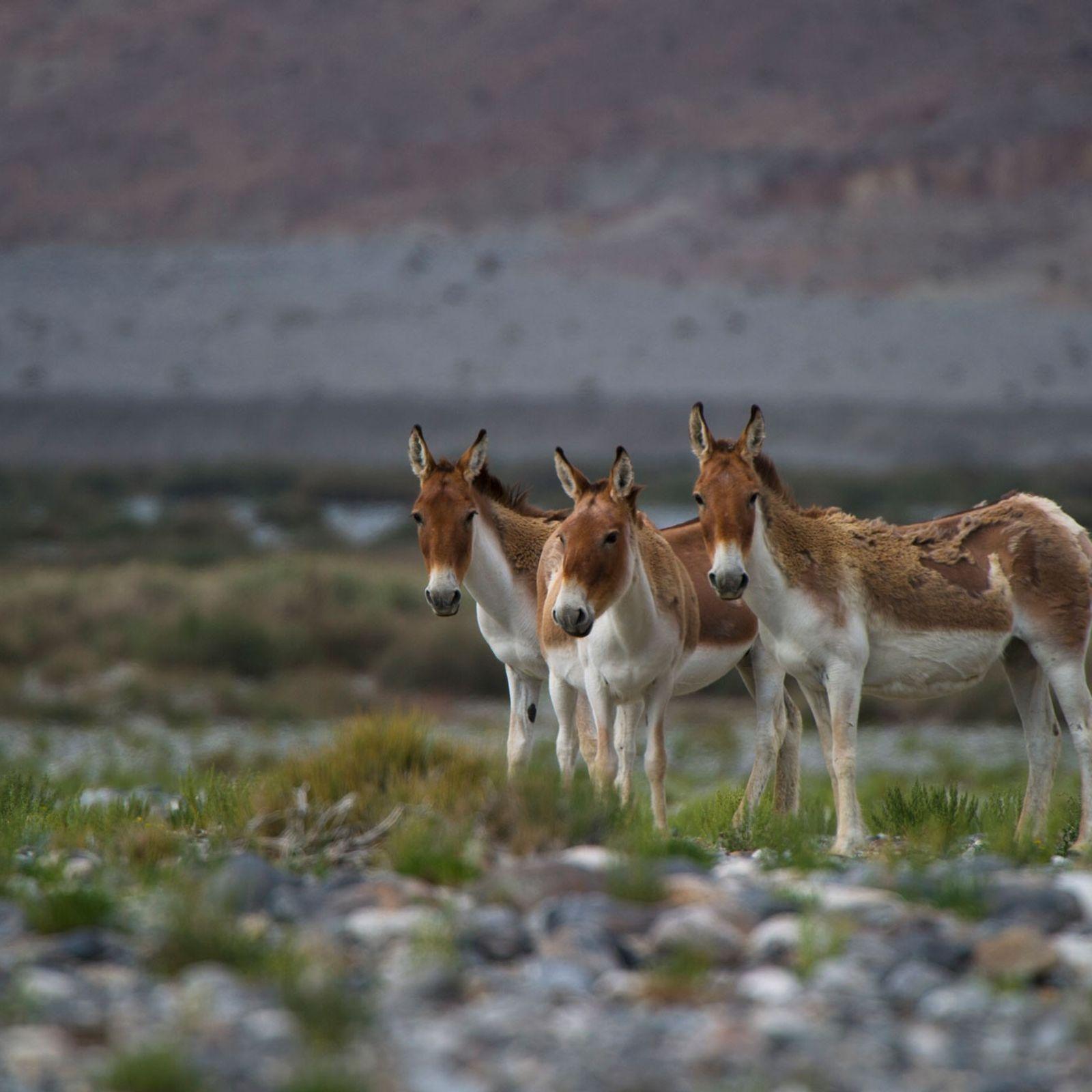 Apesar de os burros, como estes no deserto de Taklamakan, na China, não serem geralmente conhecidos ...