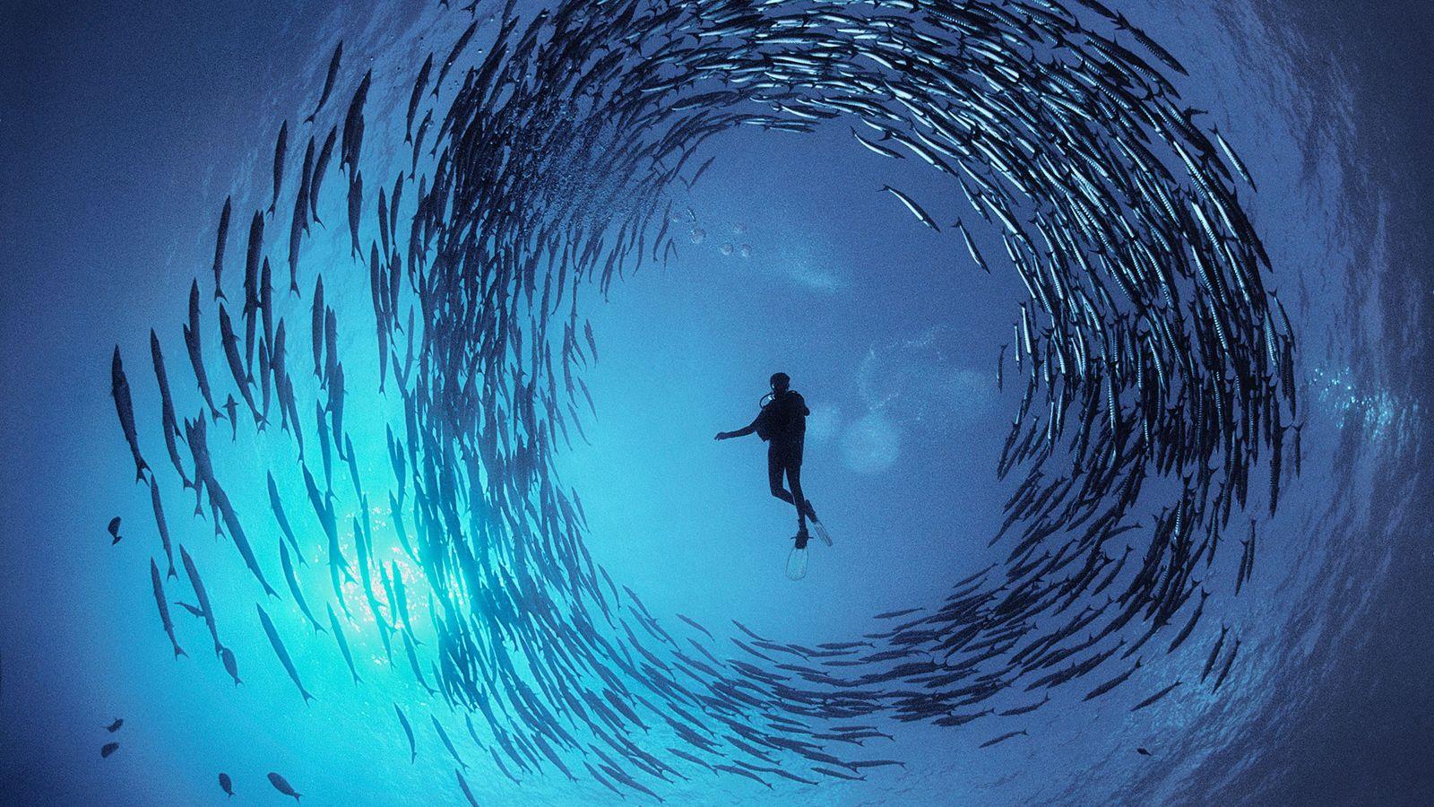 Um círculo de barracudas nada em redor de Dinah Halsead na Baía de Milne, Papua Nova ...