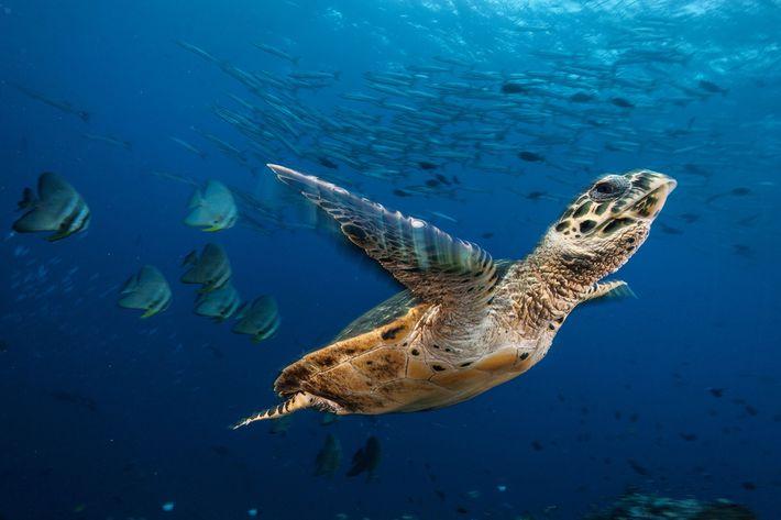 Uma tartaruga-de-pente paira num mar de peixes-morcego e barracudas na Baía de Kimbe, Papua Nova Guiné. ...