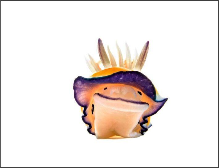 Um nudibrânquio Chromodoris parece sorrir para a câmara do seu mini estúdio subaquático, que eu criei ...