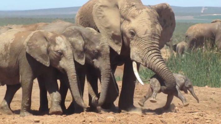 Elefante Macho Ataca Elefante Recém-nascido
