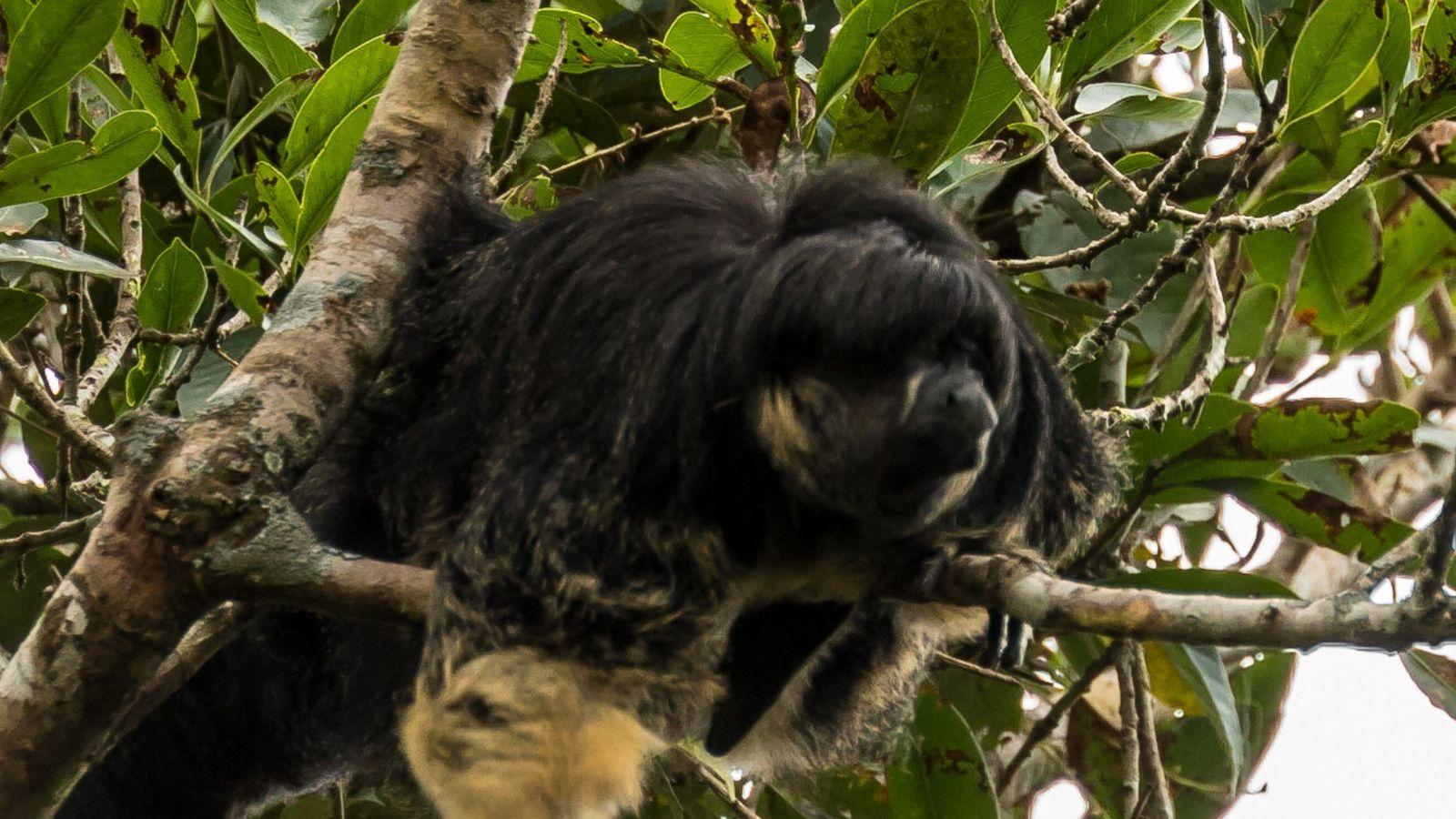 macaco raro da amazónia