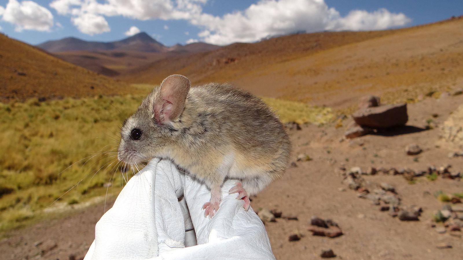 O pequeno rato 'Phyllotis xanthopygus' em cima da luva de um investigador, nas enormes altitudes da ...