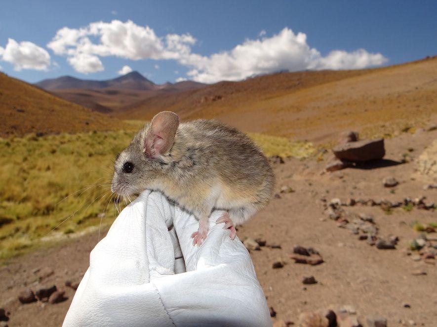 Rato Encontrado no Topo de Vulcão com 6.700 Metros Bate Recorde Mundial