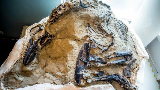 """Fóssil de """"Dinossauros em Duelo"""", Escondido da Ciência por 14 Anos, Pode Finalmente Revelar os Seus ..."""