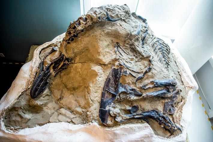 Em 2006, caçadores comerciais de fósseis encontraram o fóssil notável de um tiranossauro quase completo, juntamente ...