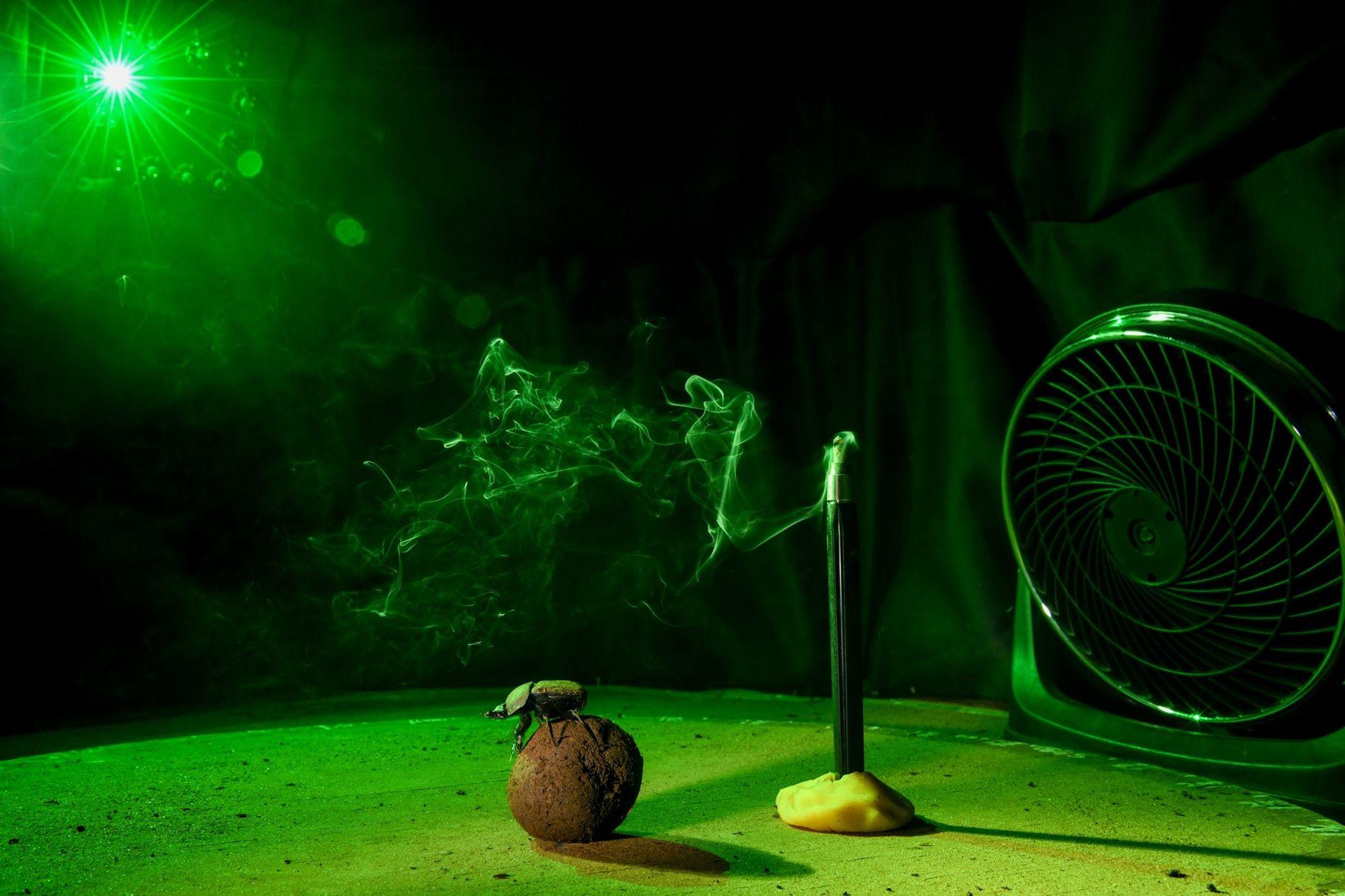 """No laboratório, um escaravelho pausa para reparar na direção do vento e na localização do """"sol"""" (um LED verde), em preparação para empurrar a sua bola de excrementos para um lugar seguro."""