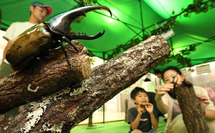 Os besouros-hércules, como o que vemos nesta exposição de insetos que decorreu no ano passado no ...
