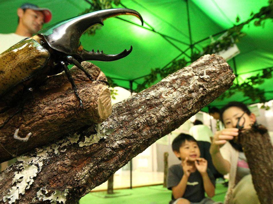 Tráfico de Besouros Raros Para o Japão Atinge Níveis Alarmantes