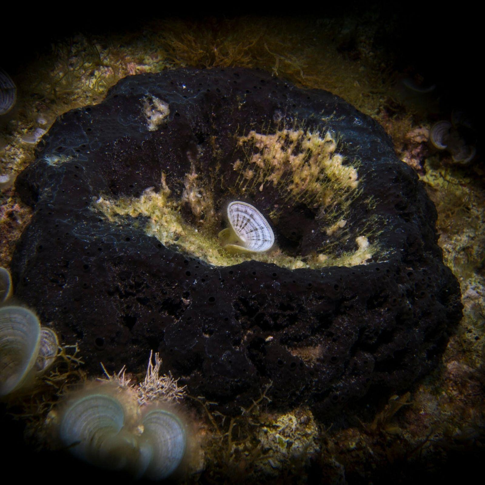Os curiosos fósseis podem ser esponjas antigas – parentes da grande esponja mostrada na imagem – ...
