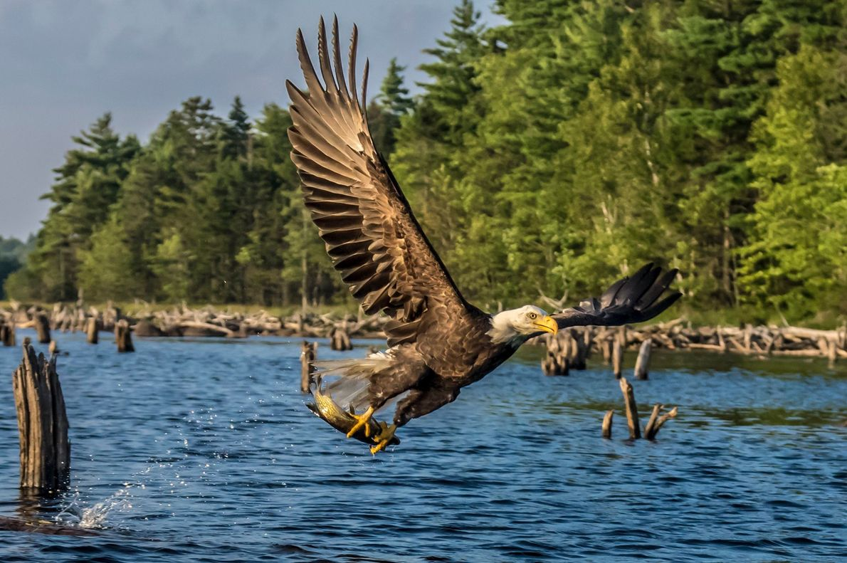 As águias-americanas, ou águias-carecas, atingem envergaduras de mais de 2 metros e chegam a pesar mais ...