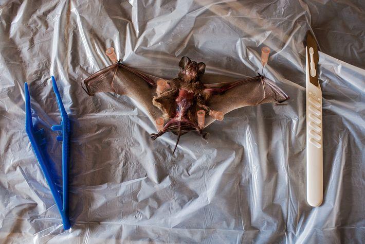 Um morcego suspeito de ser portador do vírus Ébola preparado para uma extração de amostra de ...