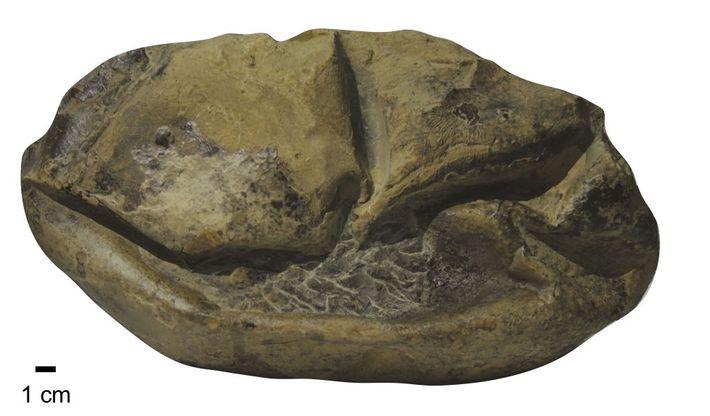 Visto de lado, o ovo fóssil de Antarcticoolithus bradyi parece uma bola de futebol americano vazia. ...