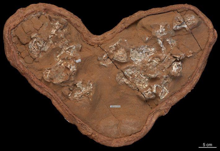Em 1995, os paleontólogos que trabalhavam no Deserto de Gobi, na Mongólia, encontraram este conjunto de ...