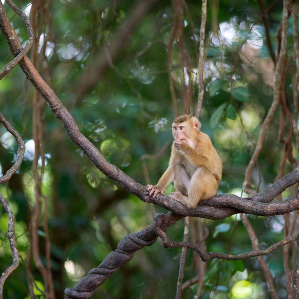 Macacos continuam a ser obrigados a apanhar cocos na Tailândia