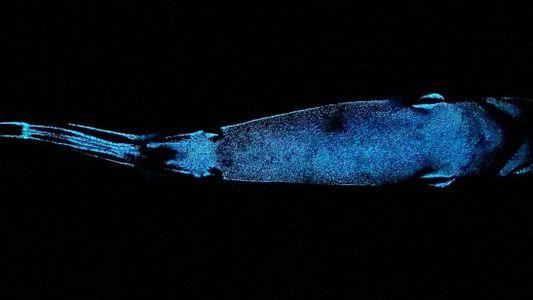 Este tubarão de águas profundas é um dos maiores animais bioluminescentes do mundo