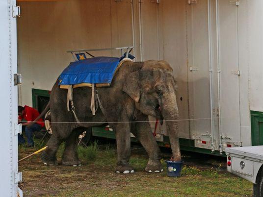 Elefantes de zoos ambulantes sofreram durante anos antes de morrer, revelam novos registos