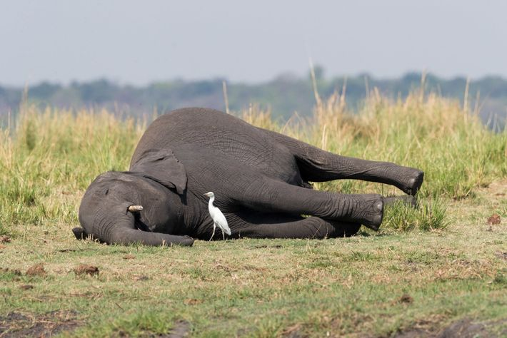 Uma das possíveis explicações para a morte dos elefantes é o envenenamento por antraz. Esta doença ...