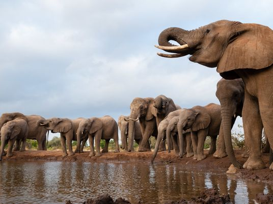 O que Está a Matar os Elefantes no Botsuana?