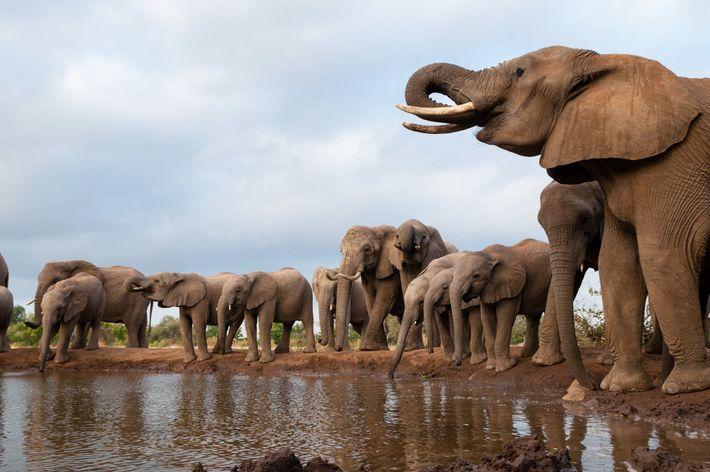 Nos últimos meses morreram centenas de elefantes no Botsuana devido a causas desconhecidas.