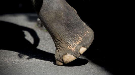 Tratador Morto por Elefante na Tailândia Reacende Controvérsia Sobre Animais em Cativeiro