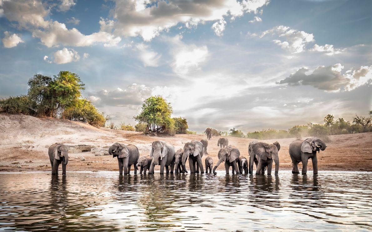 Elefantes sedentos entram no rio Chobe, no Botsuana, para beber água durante a estação seca, entre ...
