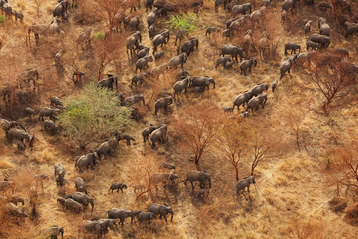 O Parque Nacional de Zakouma, uma região de gramíneas e acácias no sudeste do Chade, perdeu ...