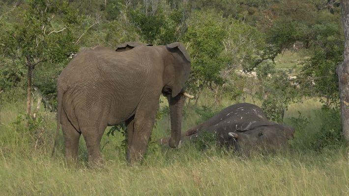 Será Que Os Elefantes Sofrem Pela Perda De Entes Queridos? Um Novo Vídeo Sugere Que Sim.