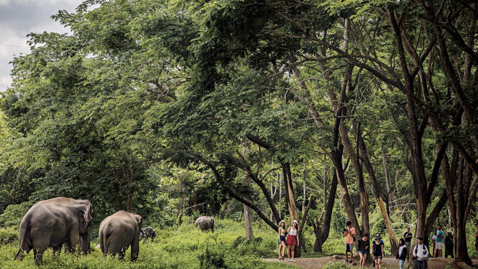 Em Elephant Valley, na Tailândia, fora de Chiang Rai, os turistas observam os animais a uma ...
