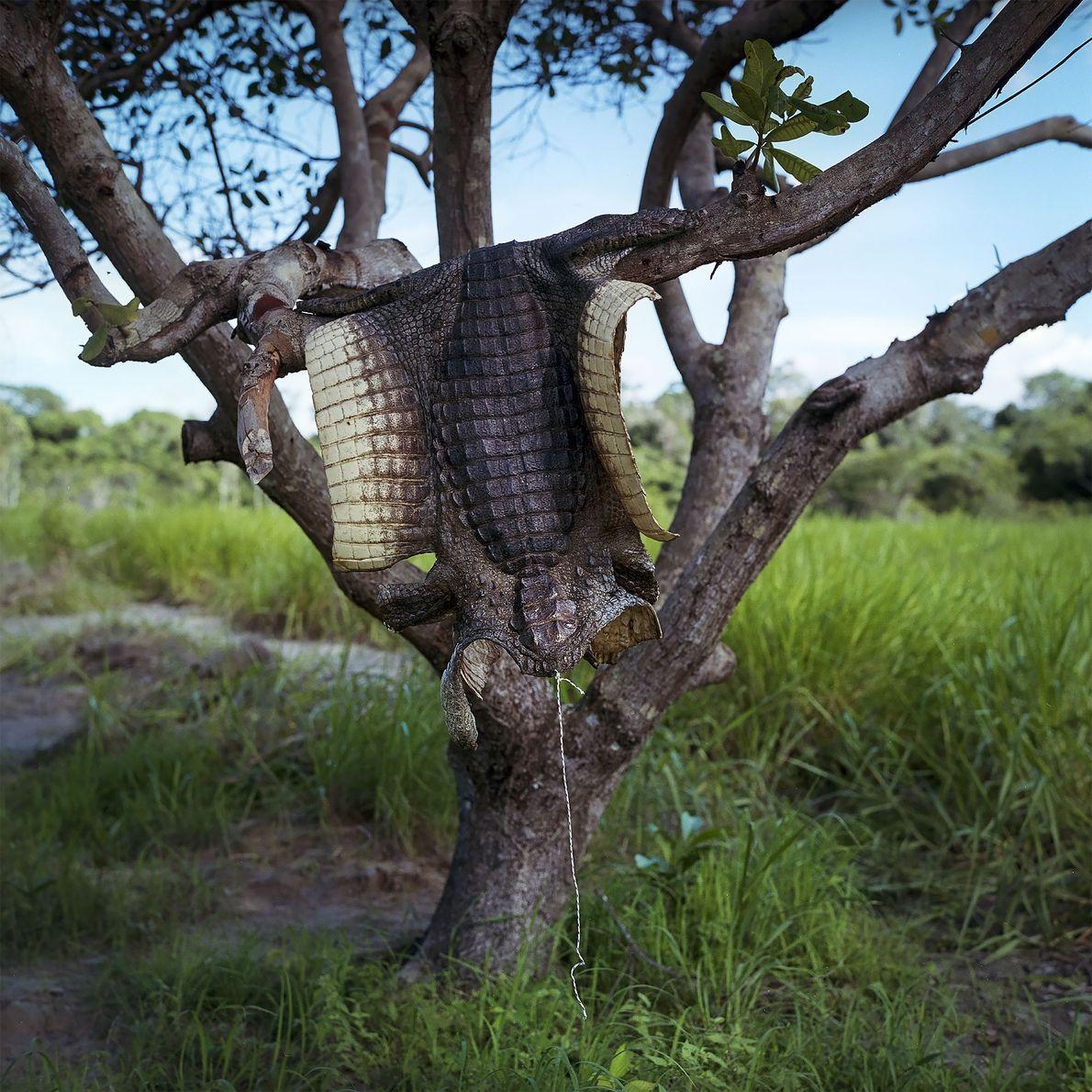Pele de jacaré pendurada nas margens do reservatório de Belo Monte
