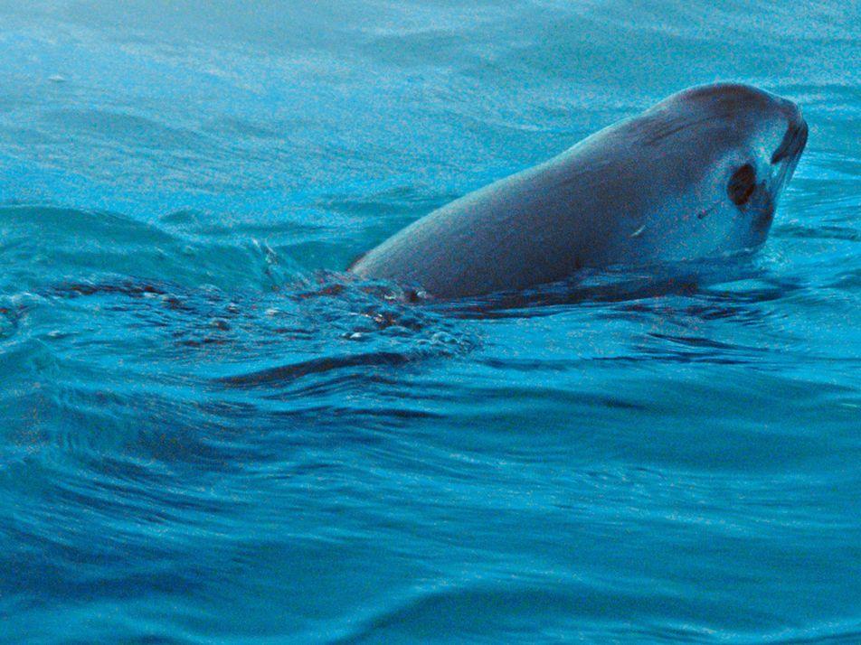 'Vaquita' do Mar Perto da Extinção