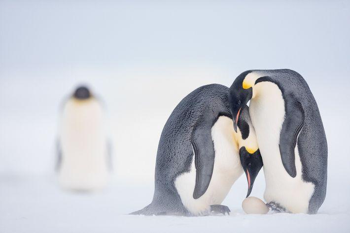 Antes de partir para caçar no mar durante dois meses, um pinguim-imperador fêmea ajuda a transferir ...
