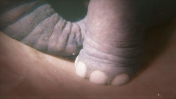 Nesta imagem vemos o pé de um elefante em gestação numa simulação criada para a série ...