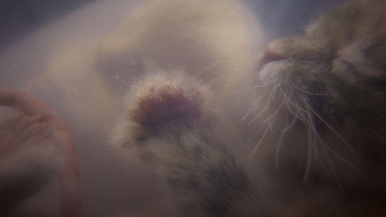 Um gatinho no útero é mostrado numa simulação criada para a série Crescer Animal da National ...