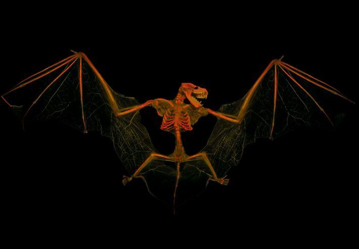 esqueleto de um morcego