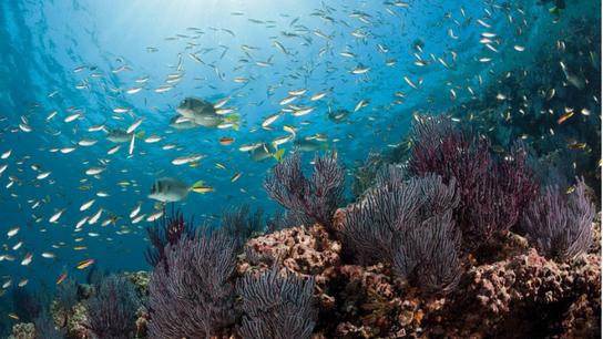 Os peixes donzela-azul – vistos aqui num recife de coral, na Baixa Califórnia do Sul, no ...