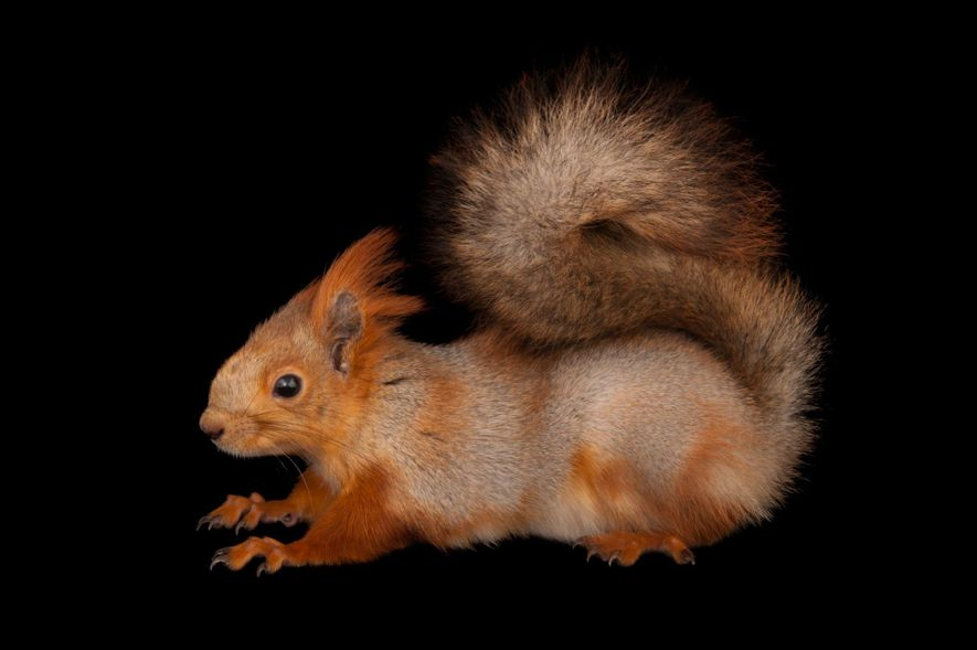 Esquilo-vermelho, ou Sciurus vulgaris.
